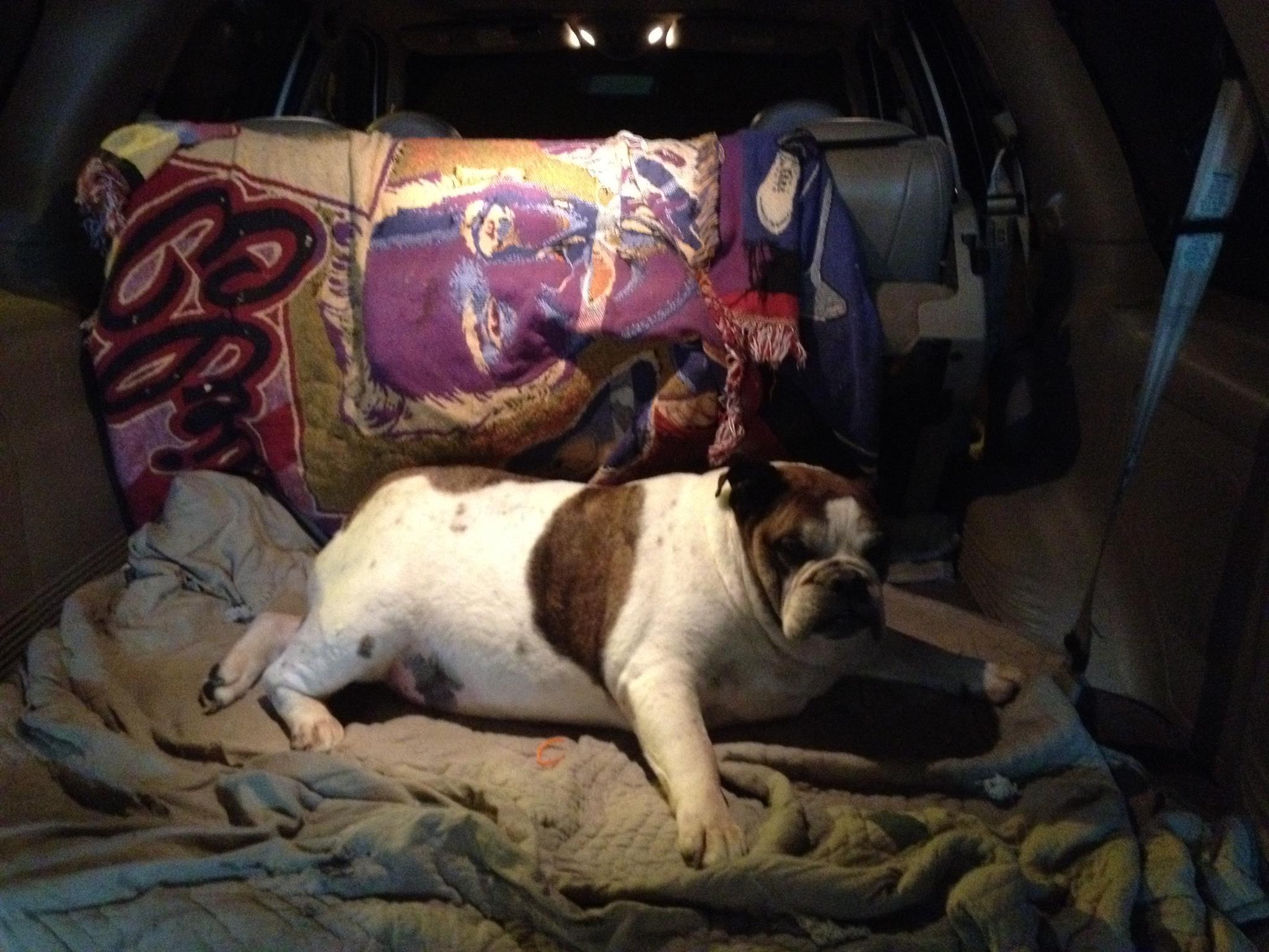 на фото пес Донни Томпсона по прозвищу Elvis blanket